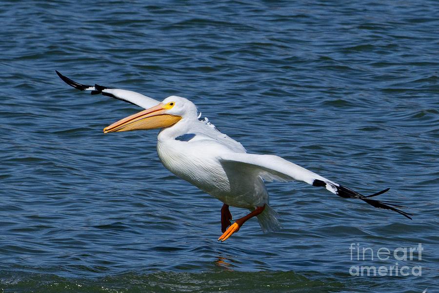 Landing Pelican Photograph