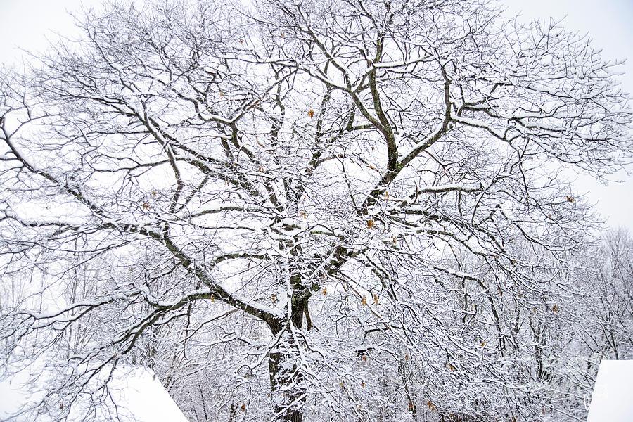 Large Oak Tree by Alana Ranney
