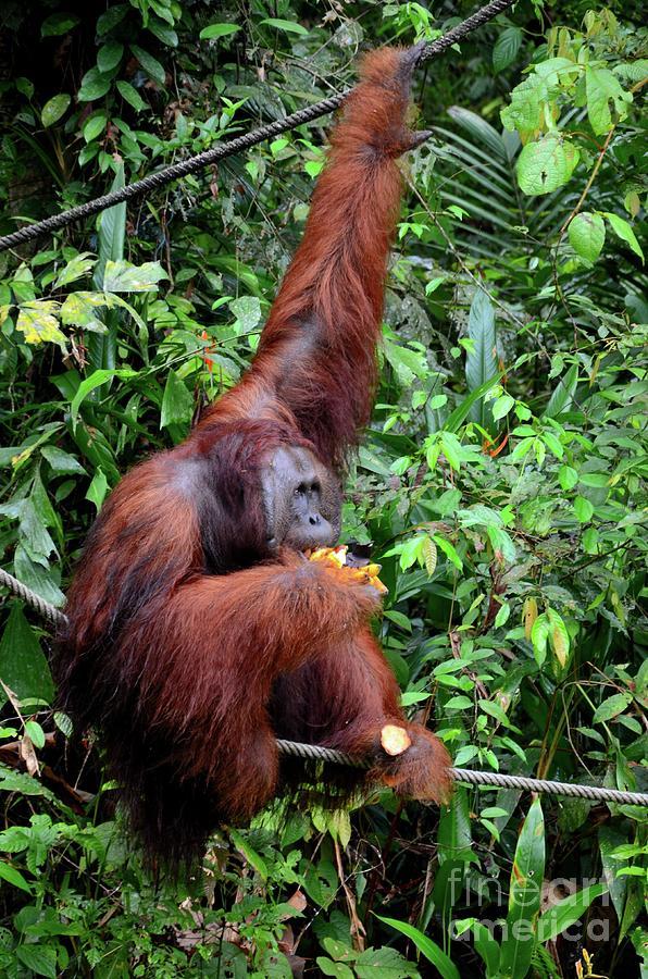 Large orangutan hangs on rope and tree eating bananas Nature Reserve sanctuary Kuching Malaysia by Imran Ahmed