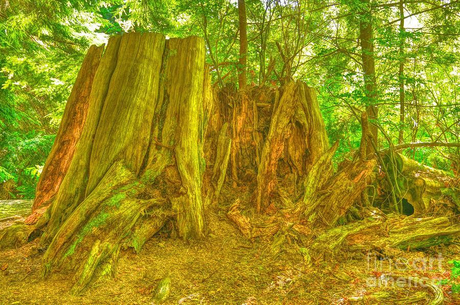 Large Tree Stump Photograph