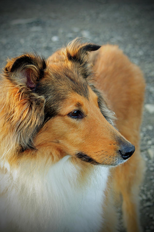 Lassie Come Home by Tikvah's Hope