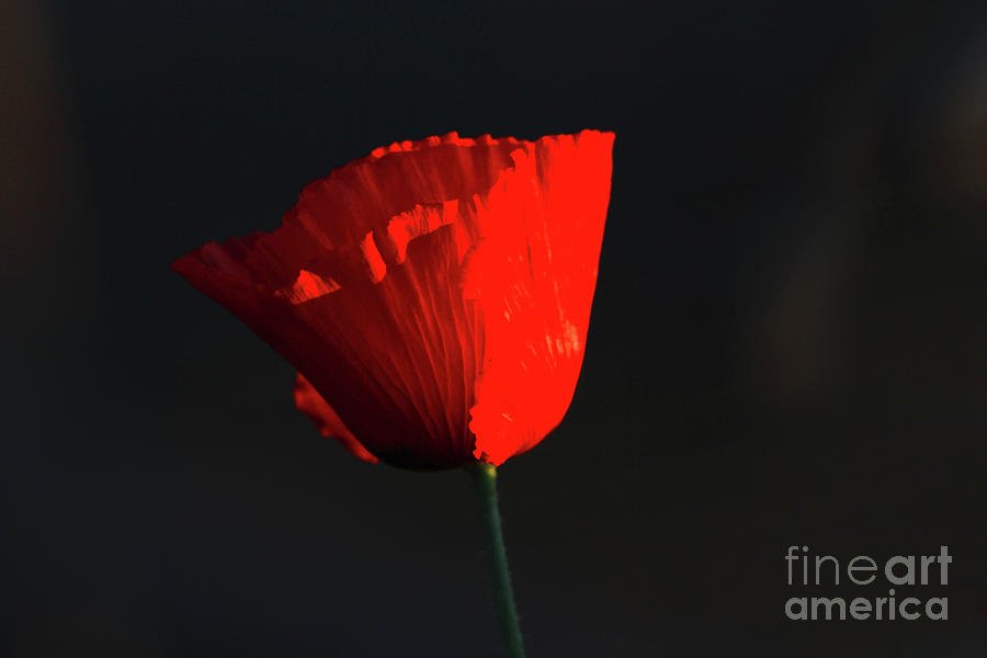 Poppy Photograph - Last Light by Gary Wing
