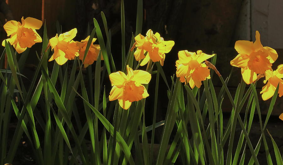 Late Daffodils Photograph