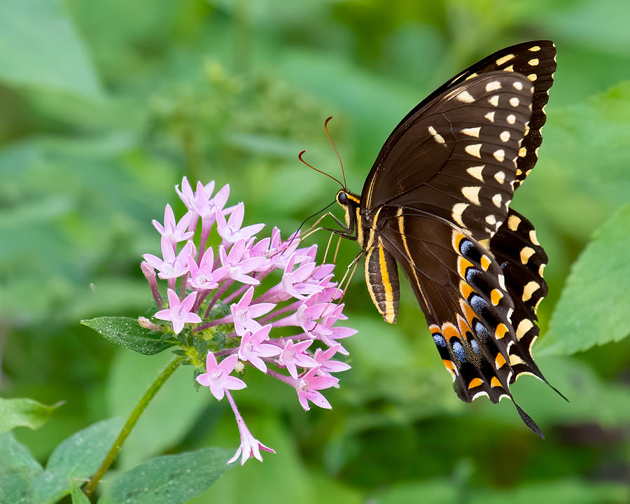 Laurel Swallowtail Butterfly Photograph by Larry Maras