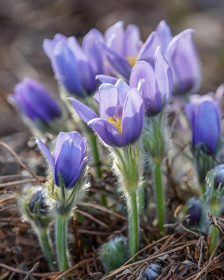 Lavender Crocus by Susan Rydberg