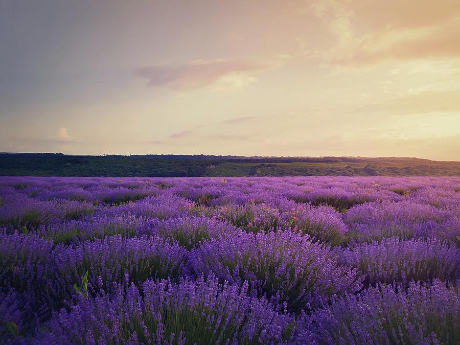 Lavender Field Photograph