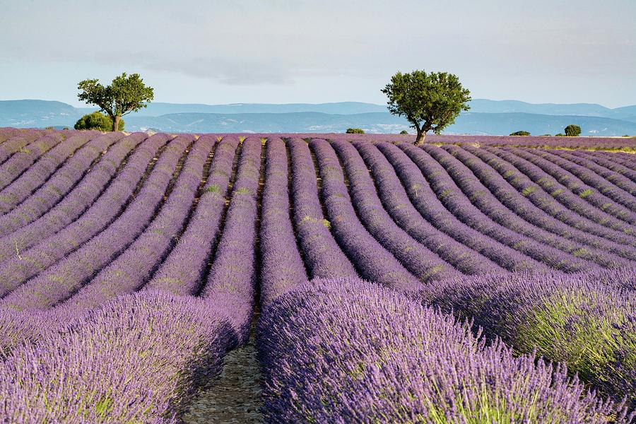 Lavender Field Photograph