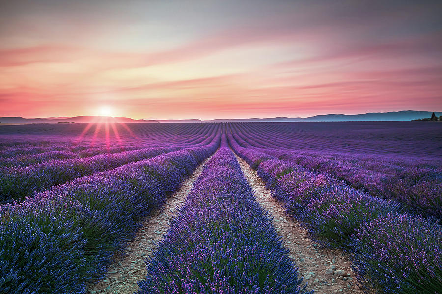 Lavender Flower Blooming Fields Endless Rows On Sunset Valensol Photograph By Stevanzz Photography