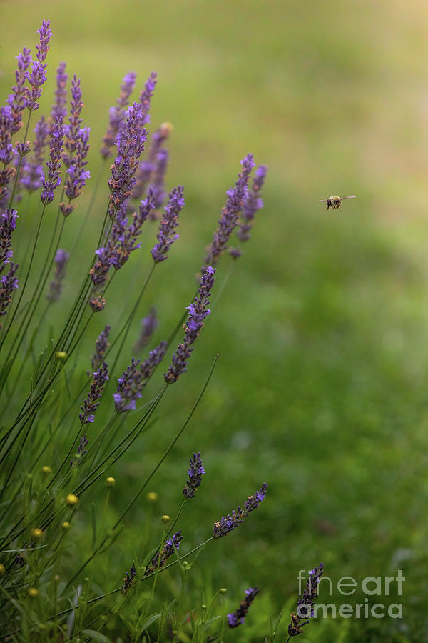 Lavender Flowers In Summer Photograph