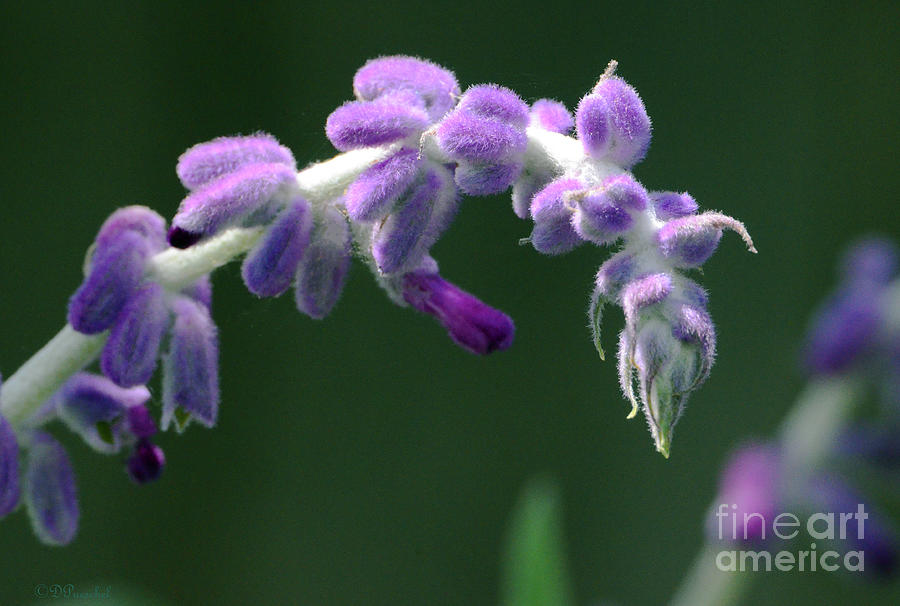 Lavender Stalk Photograph