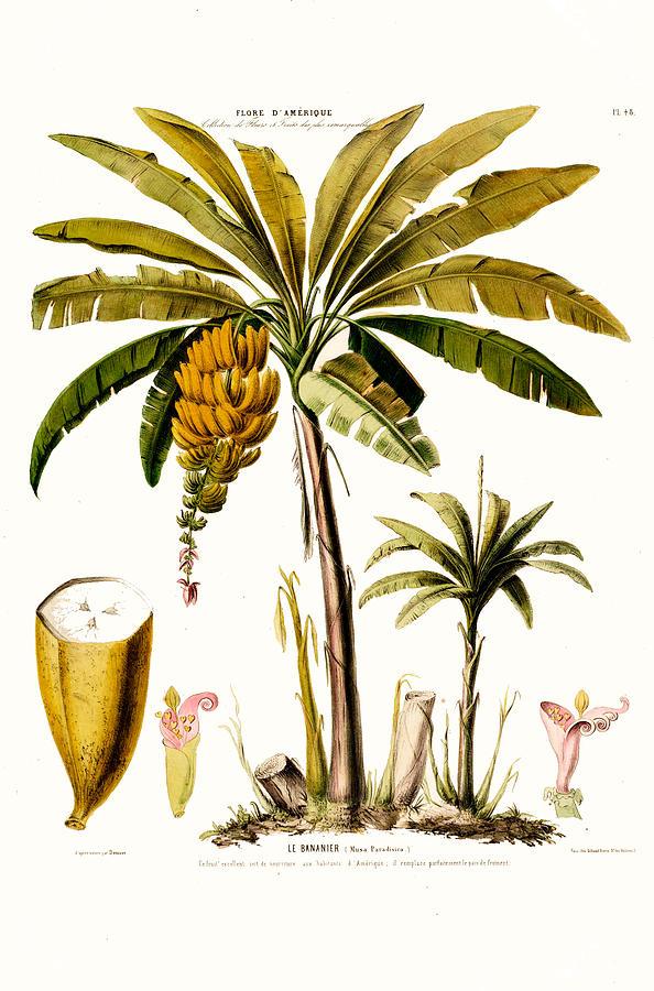 Le Bananier Tropical Banana Tree Flore D Amerique  by Vintage Botanical Gallery