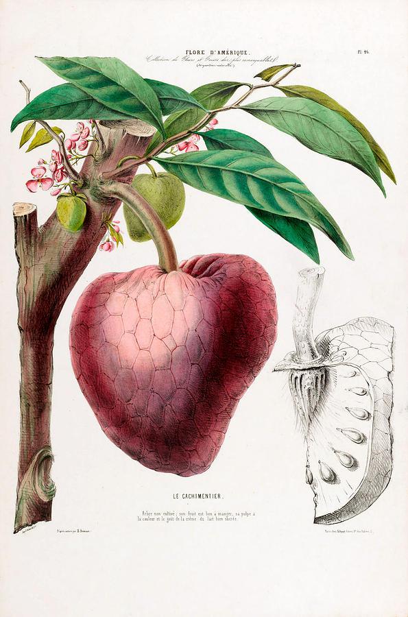 Le Cachimentier Vintage Strawberry Flore D Amerique Botanical by Vintage Botanical Gallery