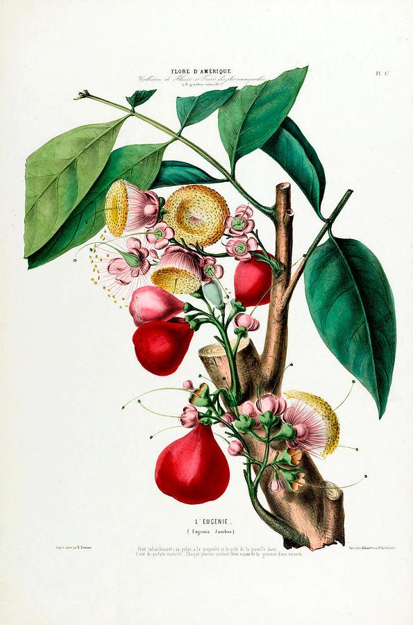 Le Eugenie Vintage Botanical Flore D Amerique by Vintage Botanical Gallery