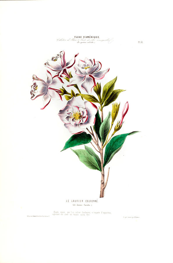 Le Laurier Couronne Vintage Botanical Pink Floral Amerique by Vintage Botanical Gallery