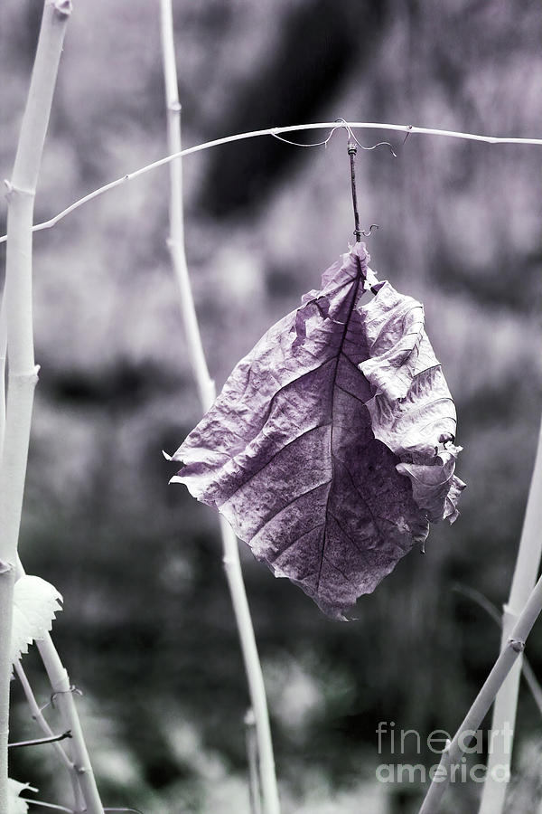 Winter Photograph - Leaf In Winter Clothes, Infrared Photography by Felix Lai