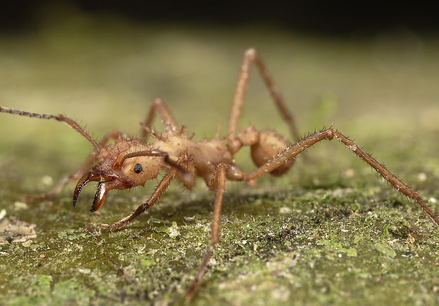 Leafcutter ant (Atta sp.) on ground, Colombia Photograph by Robert Oelman