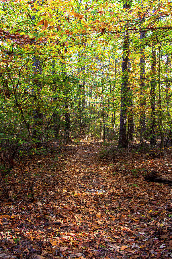 Leafy Forest Path  by Amy Sorvillo
