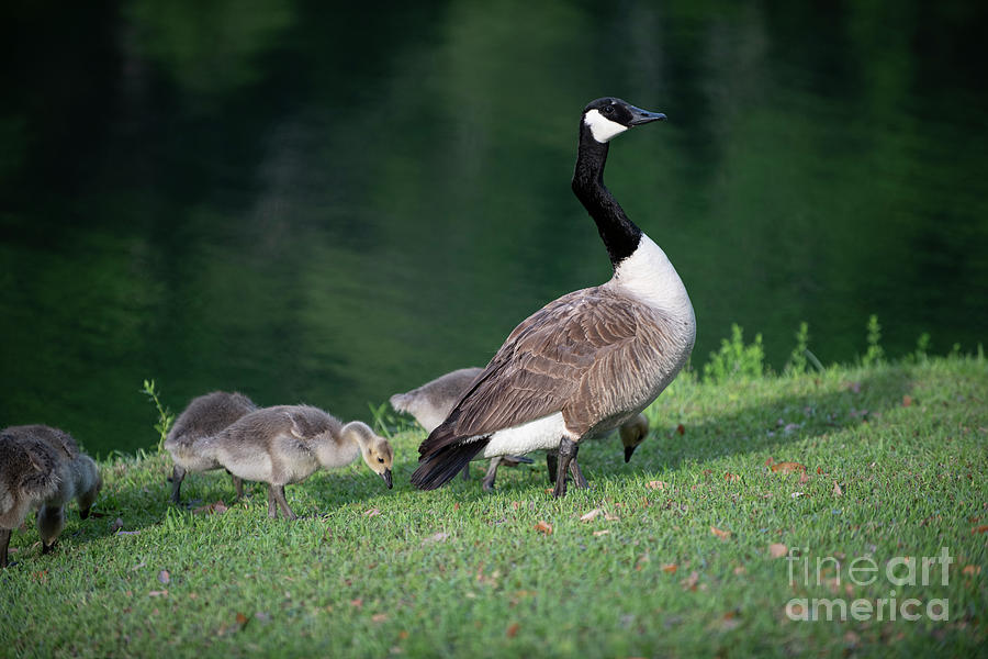 Learn To Fly - Baby Goslings Photograph