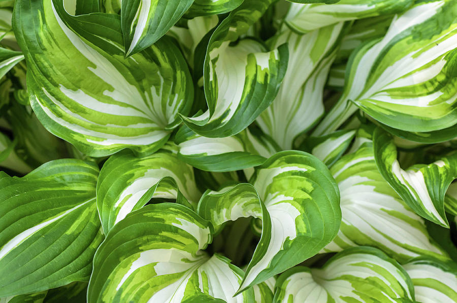 Leaves of Hosta Undulata Univittata 1 by Jenny Rainbow