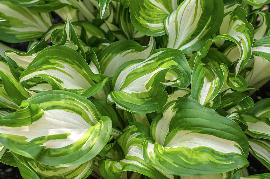Leaves Of Hosta Undulata Univittata 2 by Jenny Rainbow