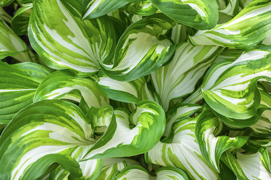 Leaves of Hosta Undulata Univittata by Jenny Rainbow