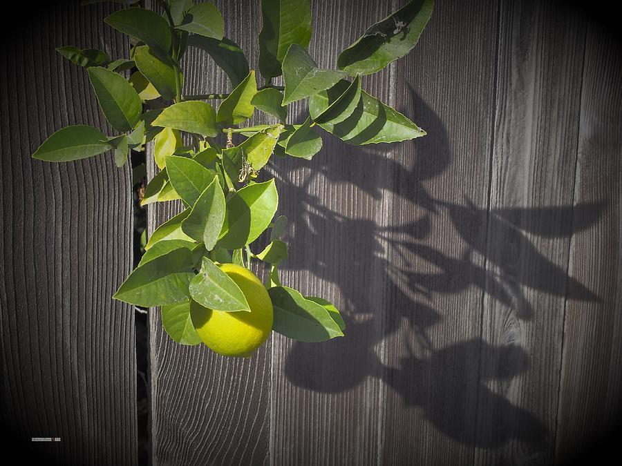 Lemon Tree by Richard Thomas