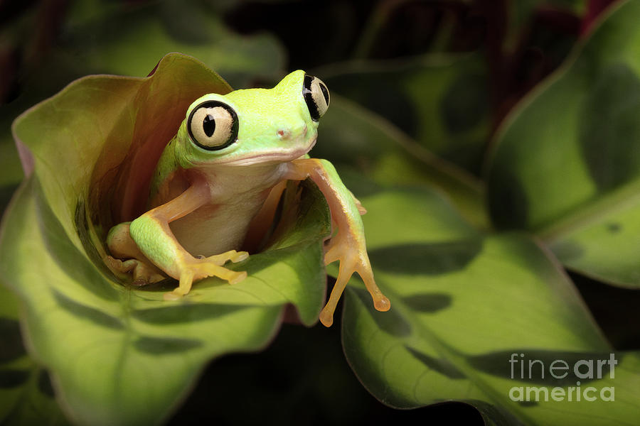 Lemur Frog Sitting In A Green Plant Photograph