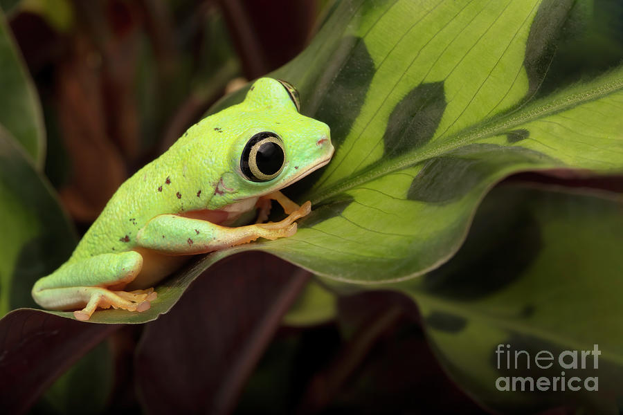 Lemur Tree Frog On A Spitted Leaf Photograph