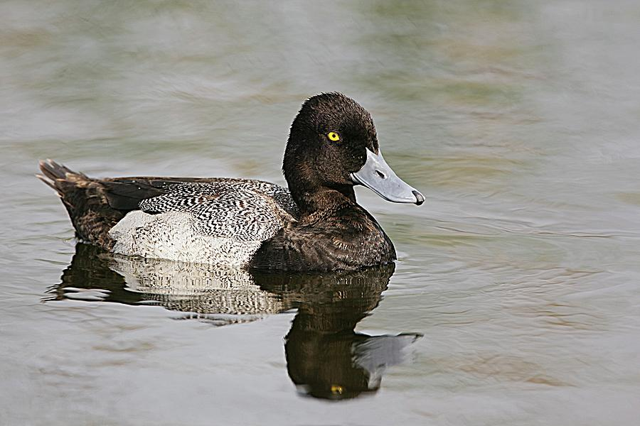 Lesser Scaup Reflections Photograph