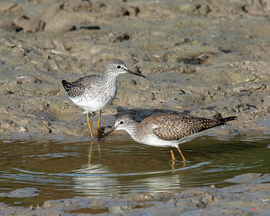 Lesser Yellowlegs Sandpipers DMSB0216 by Gerry Gantt
