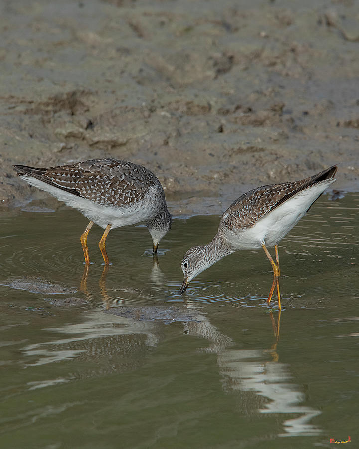 Lesser Yellowlegs Sandpipers DMSB0218 by Gerry Gantt
