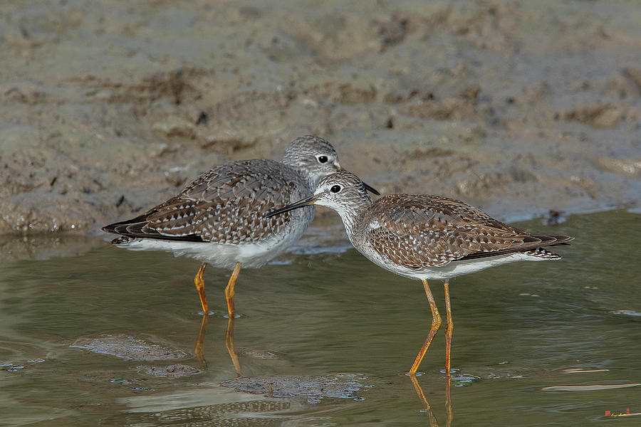 Lesser Yellowlegs Sandpipers DMSB0219 by Gerry Gantt