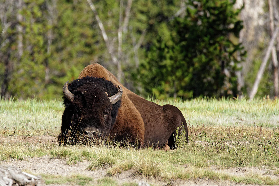 Let Sleeping Bison Lie -- American Bison in Yellowstone National Park, Wyoming by Darin Volpe