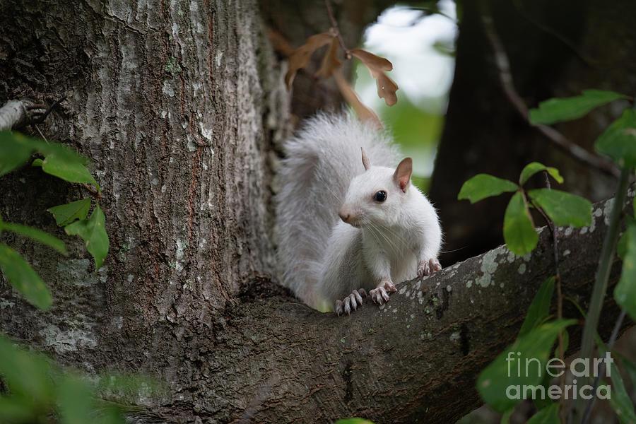 Leucism - White Squirrel Photograph