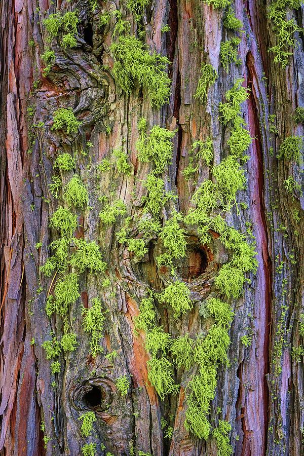 Lichen Photograph - Wolf Lichen on Incense Cedar by Alexander Kunz
