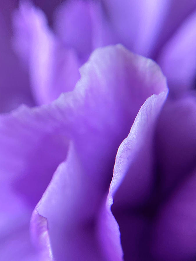 Flower Photograph - Light Purple Series II by Bloomin Blumen