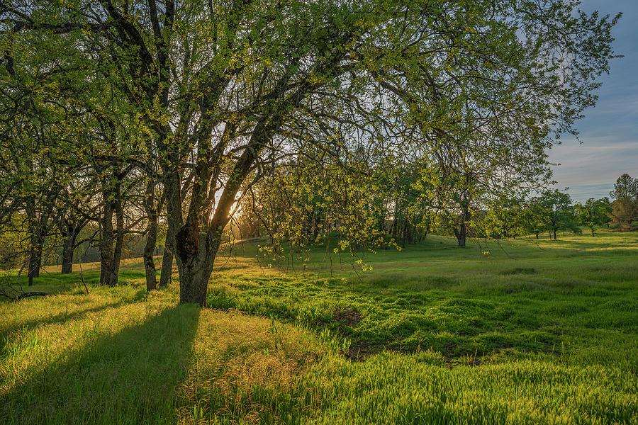 Sunset Photograph - Light Soaked Oaks by Jonathan Hansen