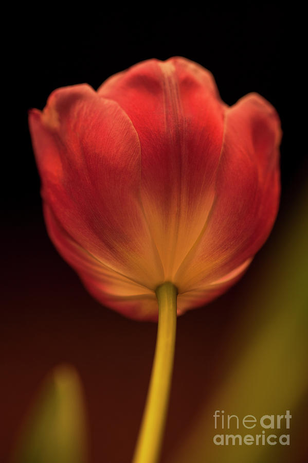 Light With Reddish Orange Tulip Photograph