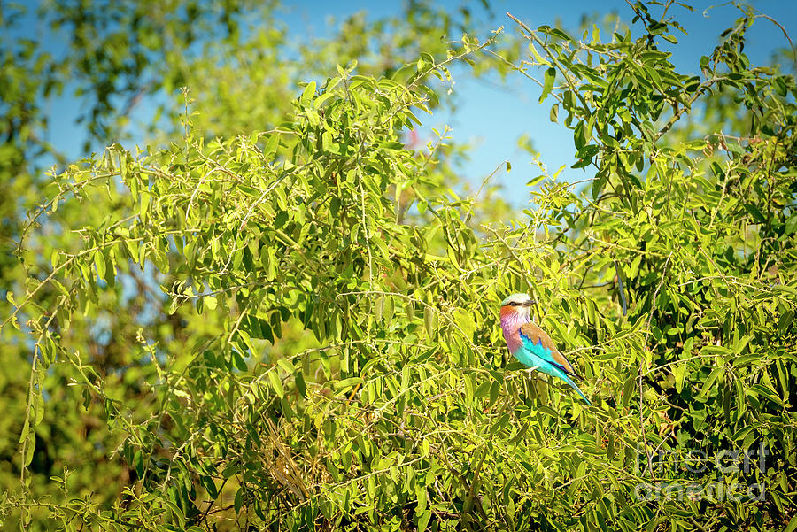 Lilac Breasted Roller Bird Photograph