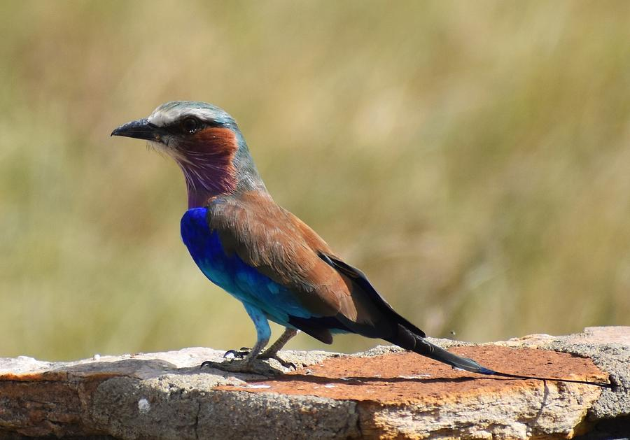 Lilac Breasted Roller Photograph By Marta Kazmierska