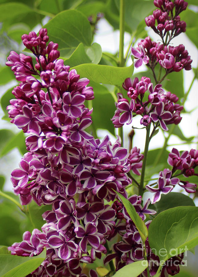 Lilac Photograph by Ross Coleman