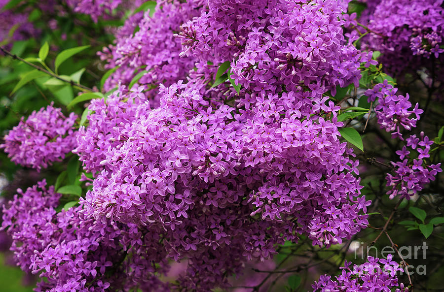 Lilac The Sweetest Scent Photograph