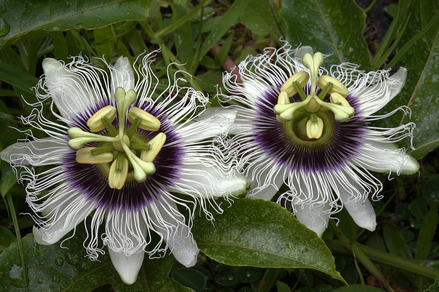 Lilikoi Flower Pair Photograph