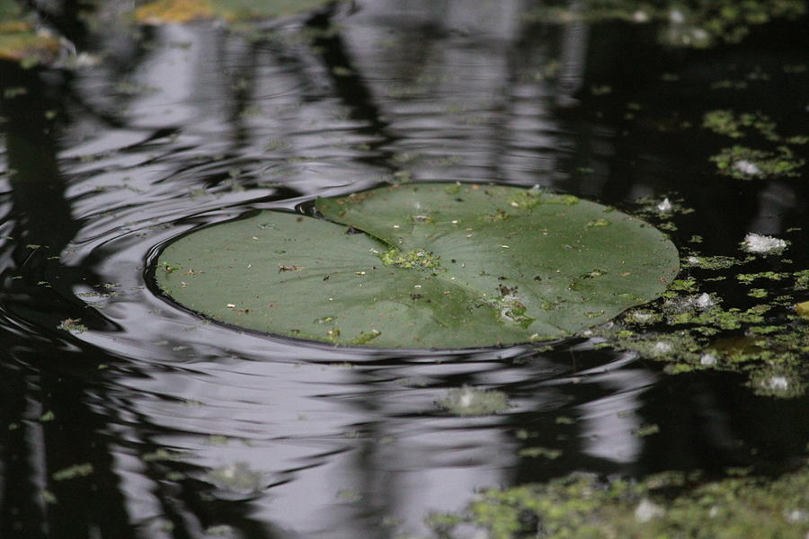 Lily Pad Photograph - Lily Pad by Callen Harty