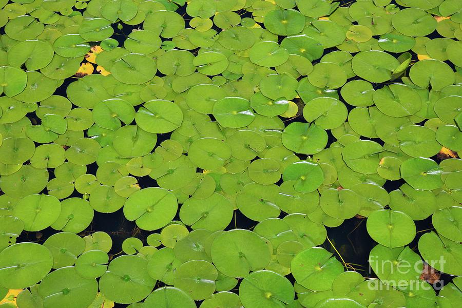 Lily Pad Pond Photograph