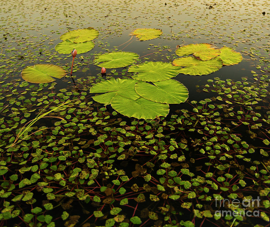 Lily Pads Photograph