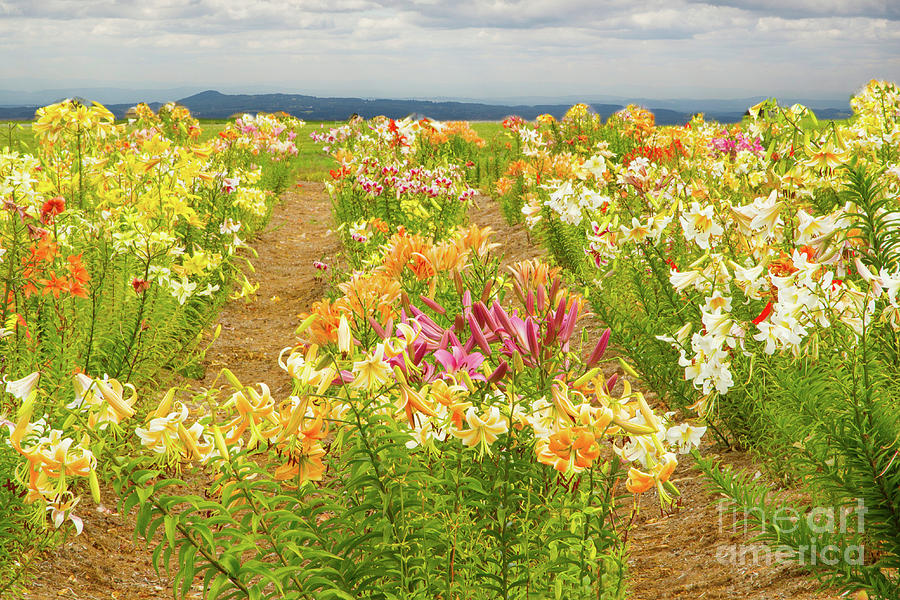 Lilies Photograph - Lilycrest Gardens Mountain View by Marilyn Cornwell