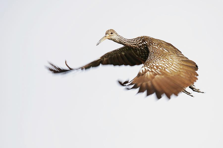 Limpkin In Flight Photograph