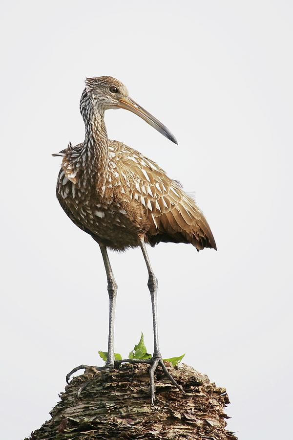 Limpkin Standing On Palm Tree Photograph