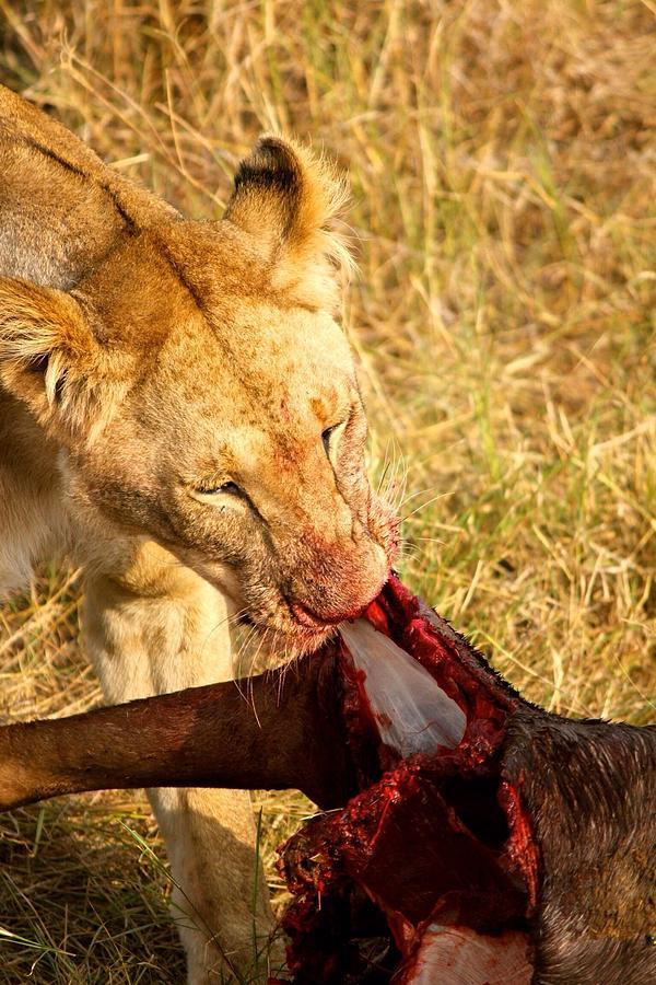 Lion Biting Meat Photograph by Nuria Camacho / EyeEm
